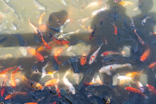 Upper View Of A Group Of Colorful Koi Carp Fishes Swimming With Opening Their Mouths Waiting For Food In The Pond That Reflecting Man And Woman's Shadow Standing On The Bridge Feeding Their Food.
