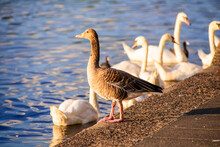 Greylag Goose Stands In Front Of Swans At The Binnenalster Lake In Hamburg