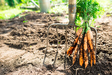 Freshly Picked Carrots From The Ground. Carrots Leaning On A Pitchfork. Gardening In The Village.