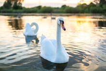 White Beautiful Swans Swimming On Lake Water In Summer.