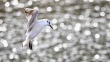 Black-headed Gull, Chroicocephalus Ridibundus,  In Flight Over A Sunlit Pond. Hampshire, UK