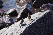 Sparrows Sits On A Rock Near The Sea. Hungry Sparrows Seeking For Food On Beach