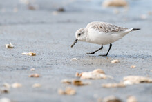 Small White Shorebird Sanderling (Calidris Alba) Foraging On Sandy Beach With Oyster Shells During Winter Migration In France