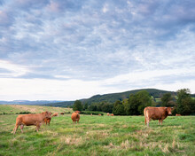 Brown Limousin Cows Graze In Green Grassy Fields Of French Morvan Countryside