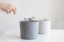 Watering Tomato Seedlings In A Gray Pot With A Spray Bottle At Home