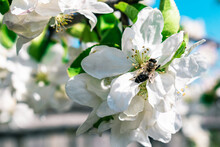 Beautiful Bee And White Apple Flower. Close-up.