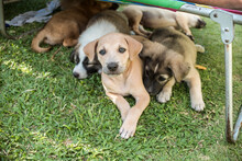 A Young And Adorable 2 Month Puppy Resting Beneath A Folding Bed With Her Siblings. Resting At The Front Lawn During The Afternoon.