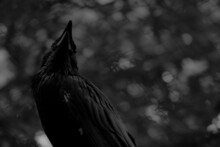 Grayscale Shot Of A Raven In A Field In The Daylight With A Blurry Background
