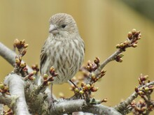Female House Finch On Branch