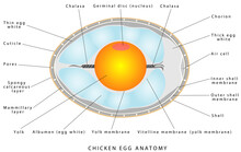 Chicken Egg Anatomy. The Internal Structure Of A Bird Egg. Bird Anatomy. Bird, Chicken Egg Anatomy. Egg Embryo Anatomy. Detailed Birds And Chicken Reproduction. Simple Annotated. White Background