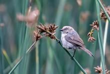 Bushtit Perched On Marsh Reed