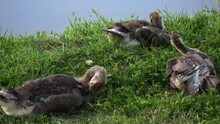 Three Young Geese Sit In Green Grass As They Preen Their Feathers. The Edge Of A Clear Blue Pond Is Visible In The Background.