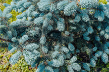 Pine Branches With Young Blue Needles, Close-up. Natural Background Of Young Pine Branches With Small Needles. Growing New Blue Pine