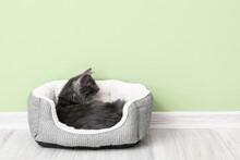 Cute Grey Cat In Pet Bed Near Color Wall