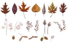 Watercolor Autumn Leaves Collection. Set Of Fall Leaves In Pastel Colors. Oak, Maple, Birch And Willow Leaves, Acorn, Maple Seeds, Lunaria, Thistle. Detailed Illustration Isolated On White Background.