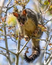 Australian Bush-tailed Possum