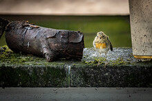 Closeup Shot Of A European Robin On The Stone Covered With Moss