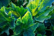 Fresh Green Leaves Of Zucchini Plant On An Organic Farm