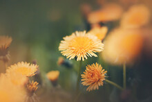 Bright Yellow Fragrant Beautiful Dandelion Flowers Bloom In A Meadow Among Wild Green Grass On A Summer Day. Nature.
