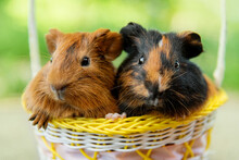 Two Guinea Pigs Sitting In A Basket In Summer