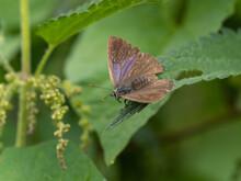 Female Purple Hairstreak Resting On Nettles