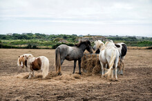 Horses And Ponies Eating Together