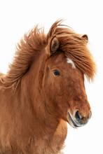 Chestnut Icelandic Horse, Islenski Hesturinn, Isolated On White Background.