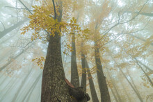 Tall Trees With Orange Leaves Growing In Autumn Forest