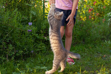 The Gray Cat Stands On Its Hind Legs And Reaches For The Child's Hand. Playing With Your Pet On The Street