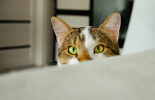One Cat Looks And Follows Large And Green Eyes Into The Lens. Funny Cat. Cat Observer.