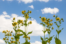 Tall Sunflowers With Blue Sky And White Clouds In Background