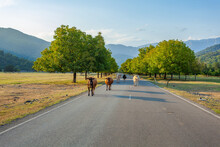 Cows In The Country Road, Domestic Animals