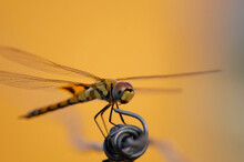 Yellow Dragonfly Stands On A Gray Wire