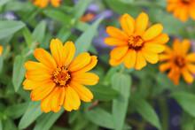 Close-up Of Three Orange Zinnia Flowers (possibly Zinnia Haageana Or Zinnia Angustifolia).