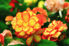 Beautiful Scenery Of Blooming Begonia Flowers,close-up Of Yellow With Orange Flowers Blooming In The Garden
