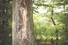 Shallow Focus Shot Of A Thick Tree Trunk With A Crack Standing In The Middle Of A Forest