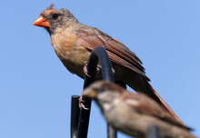 Molting Female Northern Cardinal On A High Perch