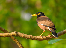 Common Mynah Bird Sitting On A Branch.