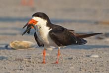 Black Skimmer With Fish Walking On Beach