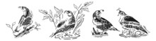 Birds Common Quail. California Quail. Isolated Quail On White Background. Bobwhite Quail Or Northern Bobwhite Or Virginia Quail Or Colinus.