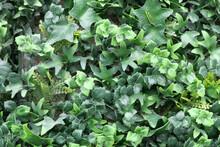 Full Frame Imitation Plastic Foliage Background Showing Ivy Leaf Detail