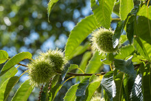 Close Up Of Chestnuts That Are Still Hanging On The Tree