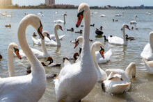 White Swan Flock In Spring Water. Beautiful White Swans Floating On Water In Search Of Food.
