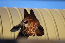 キリン 悲しげな麒麟 徳山動物園