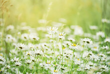 Lush Bloom Of Wildflowers In A Green Meadow.