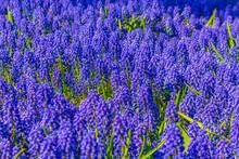 Blue Bellflowers Grape Hyacinth And Yellow Tulips Keukenhof Netherlands.