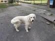 white labrador retriever