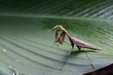 Praying Mantis Posing On Green Banana Leaves