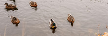 Several Wild City Ducks Swim In The Autumn Pond With Fallen Leaves In The Fall Park. Banner