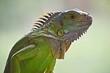 Legwan zielony - green iguana - Piękny zielony smok